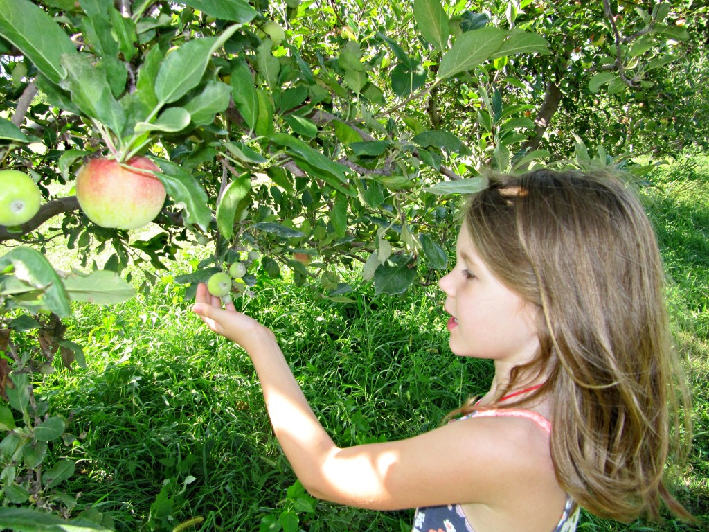 Apple picking young apples
